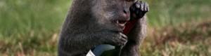 macaco chorando